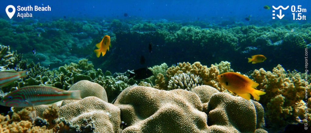 Corals in the Reef of Aqaba.