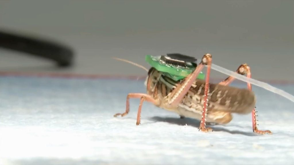 Locusts Turned Into Bomb-sniffing Cyborgs