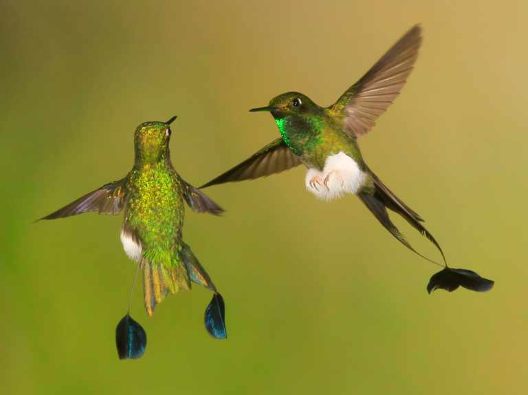 Booted Racket-tail Hummingbirds - Ocreatus underwoodii - in flight  displaying  fighting
