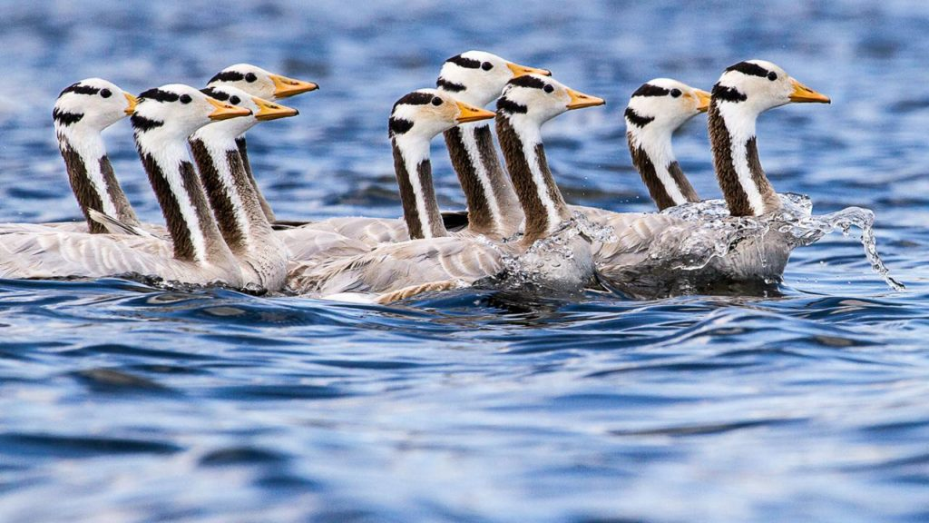 Migratory birds are perhaps the most prolific user among all animals.