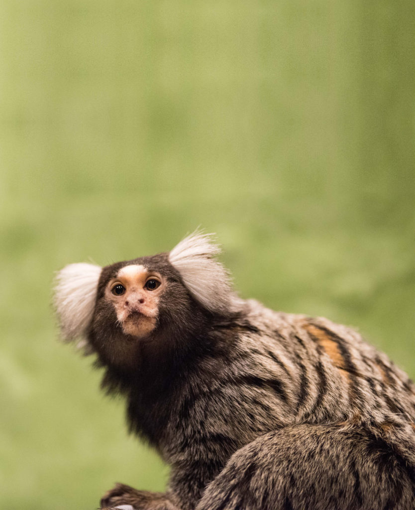 Marmoset Monkeys have a white patch on their head.