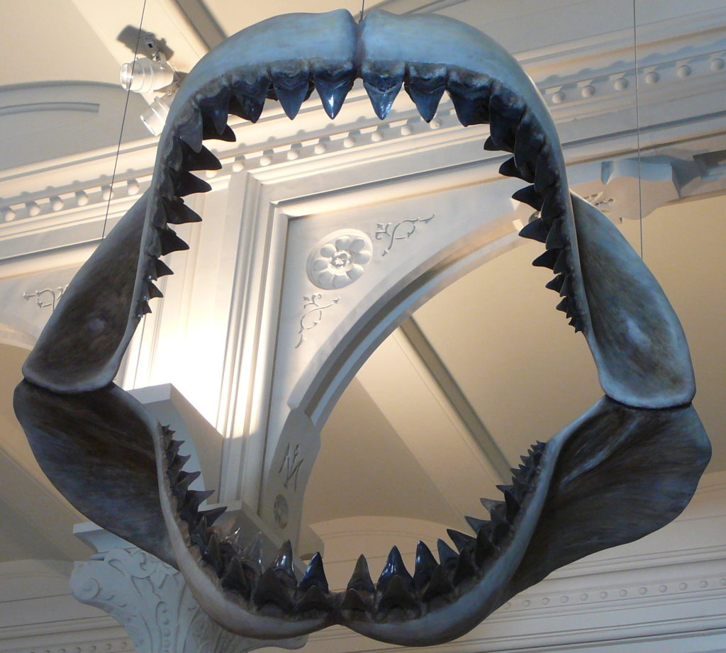 A megalodon jaw.
