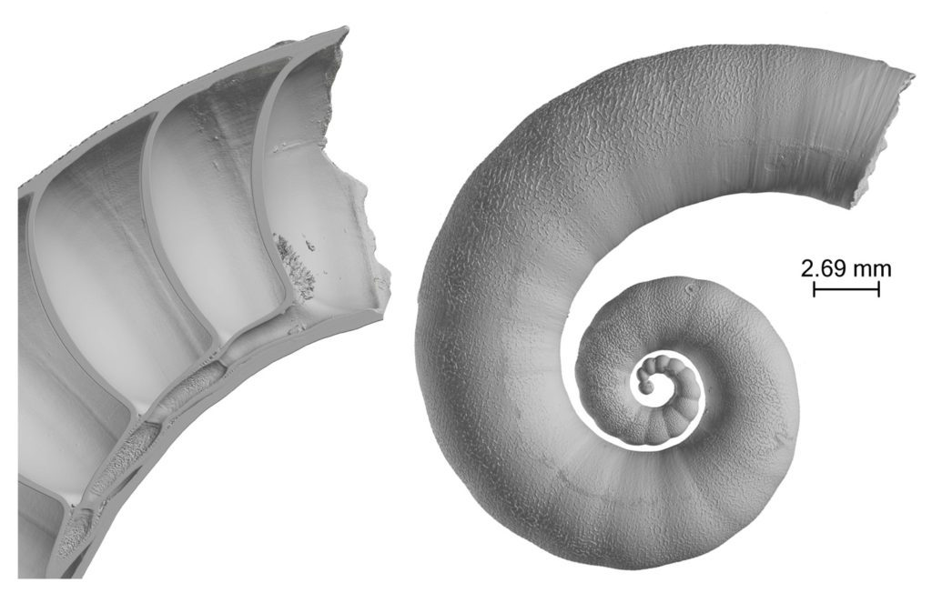 The shell of the spirula squid.
