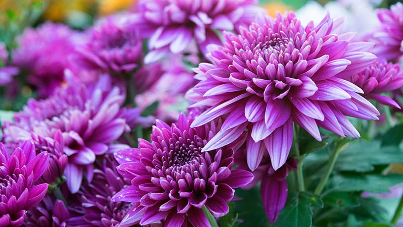 growing chrysanthemum 02
