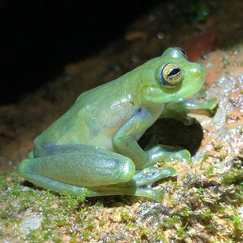 How glass frog attract mates