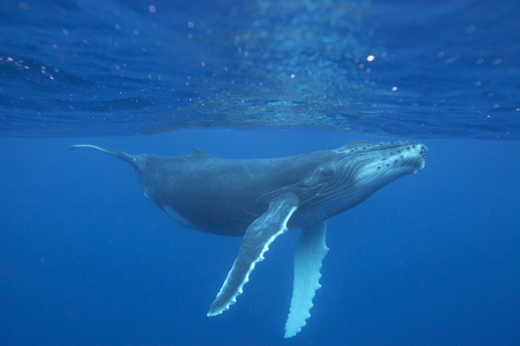Humpback Whales have also shown signs of recovery.