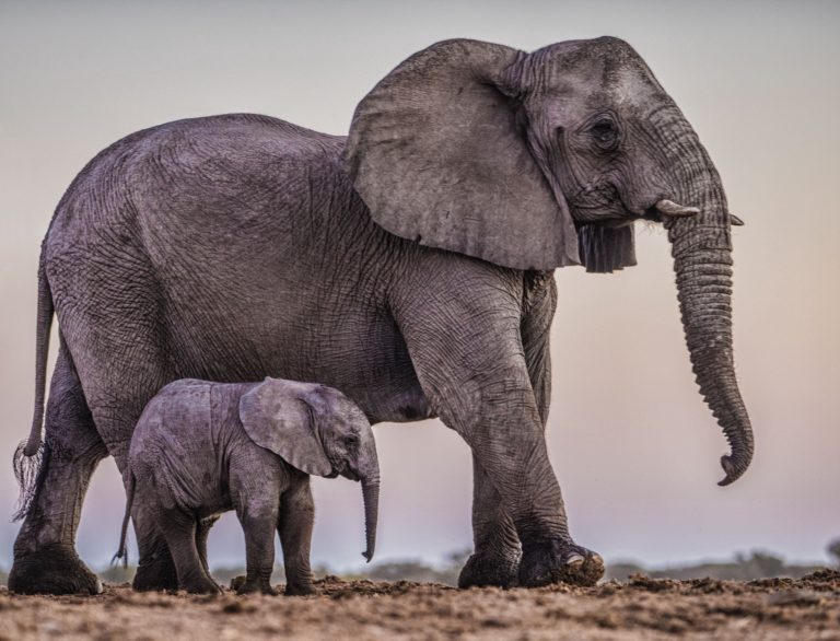 Why Cancer in Elephants is Rare